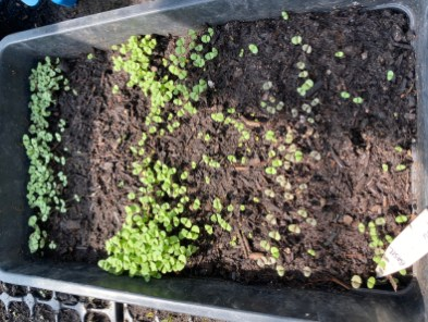 tray of basil for microleaves
