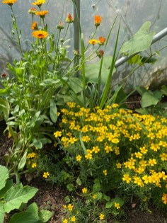 polyculture of gem marigolds, calendula, aubergine, lemongrass, melon and a sneaky weed!