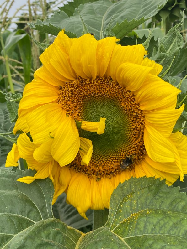 Distorted sunflower caused by faciation