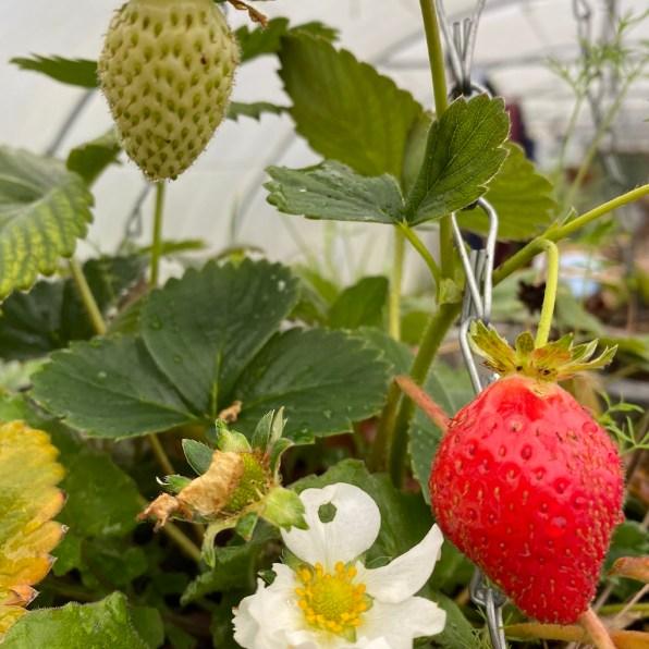 still picking strawberries!