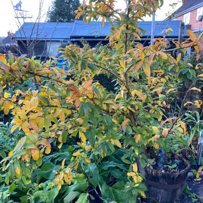 medlar tree in a pot
