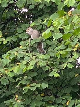 squirrel eating green hazelnuts