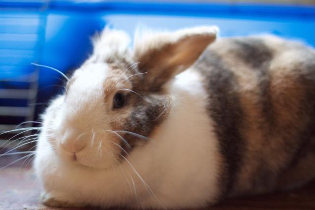 Bunny the house rabbit