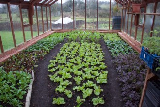 salad inside the greenhouse