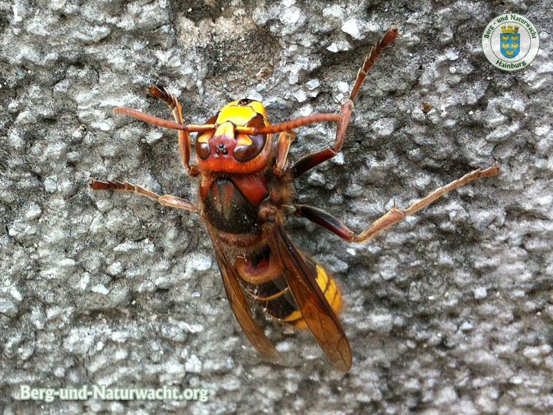 Hornisse – Vespa crabro
