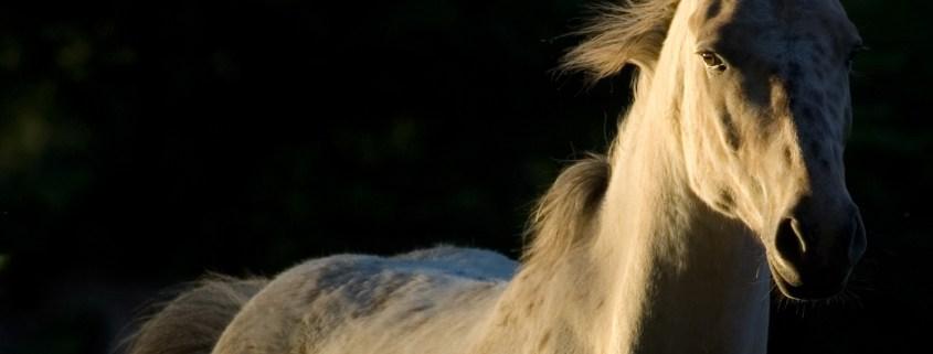 https://pixabay.com/en/horse-nature-free-white-horse-2030974/