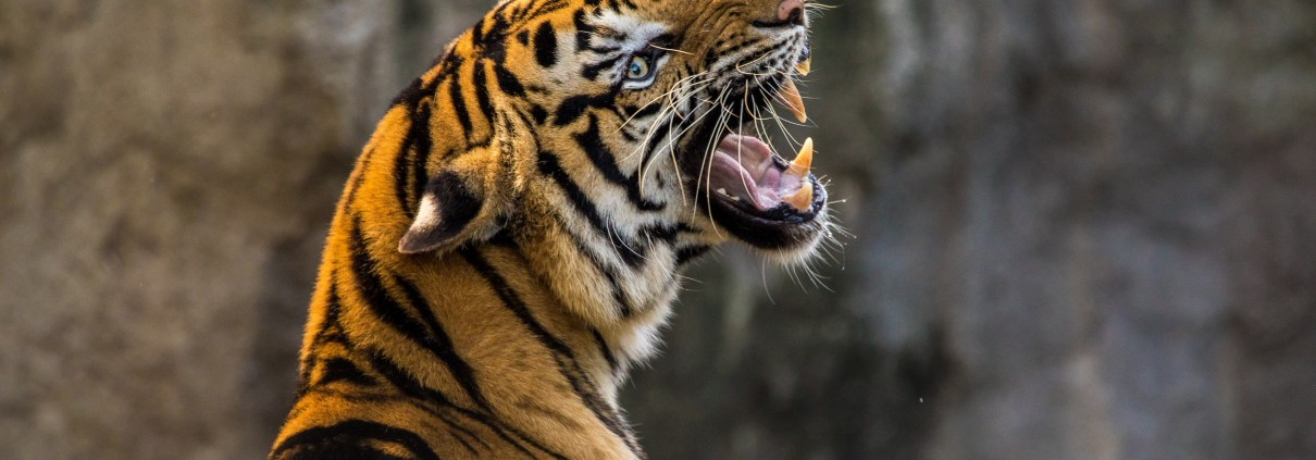 https://pixabay.com/en/tiger-cat-big-cat-animal-predator-3264048/