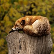 https://pixabay.com/en/fox-sleeping-resting-relaxing-red-1284512/