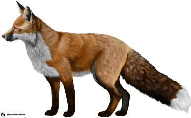 Anya the Red-Colored Domesticated Red Fox