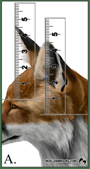 Red Fox Ear Curl Calculations - A