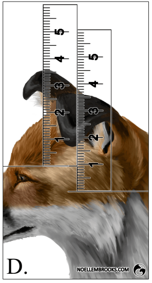 Red Fox Ear Curl Calculations - D
