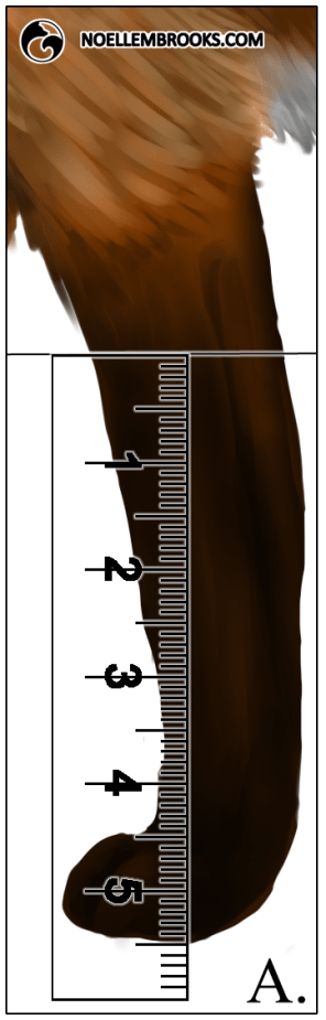 Red Fox Leg Length Calculations - A