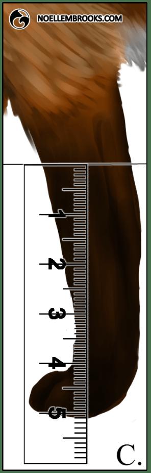 Red Fox Leg Length Calculations - C
