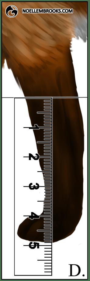 Red Fox Leg Length Calculations - D
