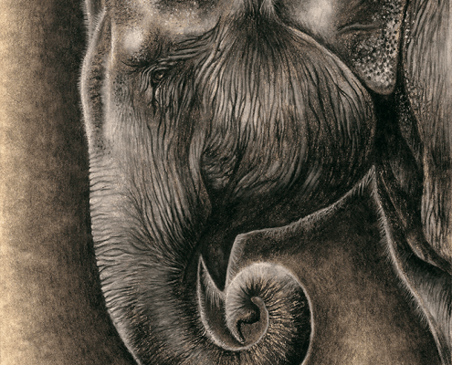 elephant, elephants, asian elephant, asian elephants, face, profile, close-up, close up, charcoal, charcoals, charcoal pencil, charcoal pencils, realism, realistic, gradient, gradients, animal, animals, wildlife, nature, achromatic, black and white, black, white, grey, gray, cream, creme, beige, noelle, noelle brooks, noellebrooks, noelle m brooks, noellembrooks, art, series, drawing, drawings, picture, pictures, illustration, illustrations, portrait