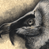bearded vulture, bearded vultures, lammergeyer, lammergeyers, lammergeier, lammergeiers, bird, birds, avian, avians, ave, aves, raptor, raptorsface, profile, close-up, close up, charcoal, charcoals, charcoal pencil, charcoal pencils, realism, realistic, gradient, gradients, animal, animals, wildlife, nature, achromatic, black and white, black, white, grey, gray, cream, creme, beige, noelle, noelle brooks, noellebrooks, noelle m brooks, noellembrooks, art, series, drawing, drawings, picture, pictures, illustration, illustrations, portrait