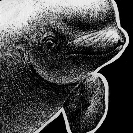 beluga whale, beluga whales, beluga, belugas, whale, whales, ink, inks, pen, pens, ballpoint pen, ballpoint pens, realism, realistic, animal, animals, wildlife, nature, achromatic, black and white, black, white, grey, gray, noelle, noelle brooks, noellebrooks, noelle m brooks, noellembrooks, art, series, drawing, drawings, picture, pictures, illustration, illustrations, portrait, portraits