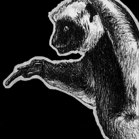 Coquerel's Sifaka, sifaka, sifakas, lemur, lemus, primate, primates, ink, inks, pen, pens, ballpoint pen, ballpoint pens, realism, realistic, animal, animals, wildlife, nature, achromatic, black and white, black, white, grey, gray, noelle, noelle brooks, noellebrooks, noelle m brooks, noellembrooks, series, drawings, pictures, portrait, portraits