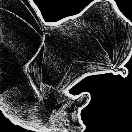 van gelder's bat, van gelders bat, bat, bats, ink, inks, pen, pens, ballpoint pen, ballpoint pens, realism, realistic, animal, animals, wildlife, nature, achromatic, black and white, black, white, grey, gray, noelle, noelle brooks, noellebrooks, noelle m brooks, noellembrooks, art, series, drawing, drawings, picture, pictures, illustration, illustrations, portrait, portraits