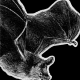 van gelder's bat, van gelders bat, bat, bats, ink, inks, pen, pens, ballpoint pen, ballpoint pens, realism, realistic, animal, animals, wildlife, nature, achromatic, black and white, black, white, grey, gray, noelle, noelle brooks, noellebrooks, noelle m brooks, noellembrooks, art, series, drawing, drawings, picture, pictures, illustration, illustrations, portrait, portraits