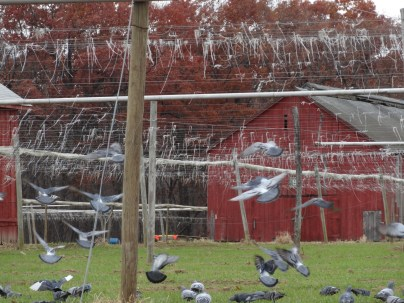 I was trying to get a picture of the birds picking away at the remnants in the tobacco field when I startled them into flight.