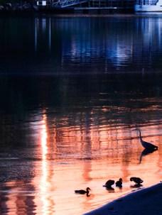 Ducks and Heron