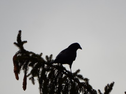 Slow Joe Crow - scoping the neighborhood