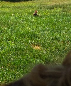 This photo was taken from behind Maddie's ear. Shes just sitting and watching the bunny eat.