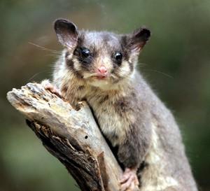 Criticaly endangered:: Leadbeaters possum, Victoria's faunal emblem. Photo: John Englart