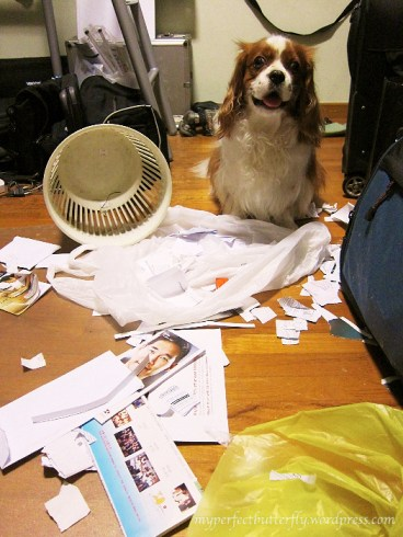 A cavalier king charles attacks the waste paper bin