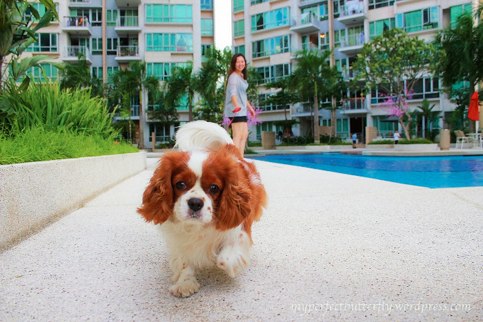img 3118 1 Living With The Cavalier King Charles Spaniel Jamie Chan