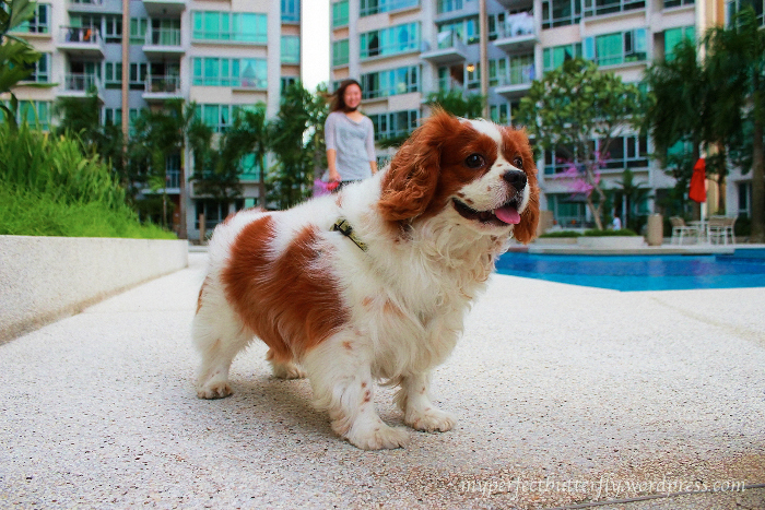 img 3120 1 Living With The Cavalier King Charles Spaniel Jamie Chan