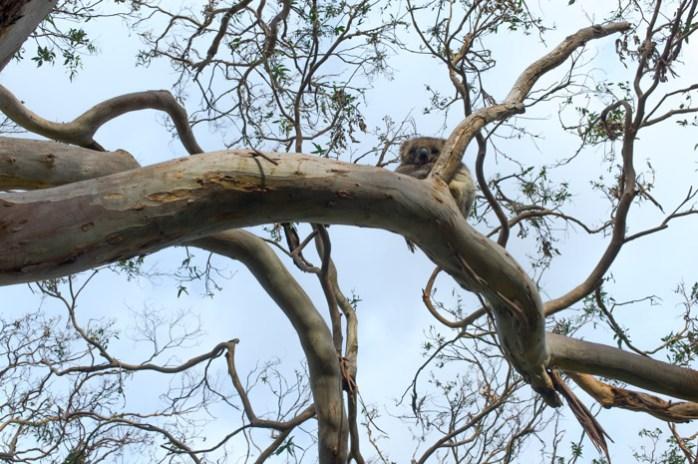 koalas, great ocean road, cute