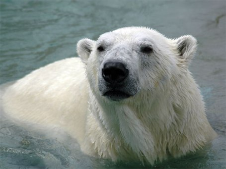 TripodGirl_polar_bear500