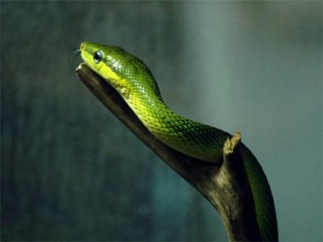 TripodGirl_rat_snake2_500