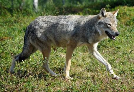 grey_wolf_wikipedia