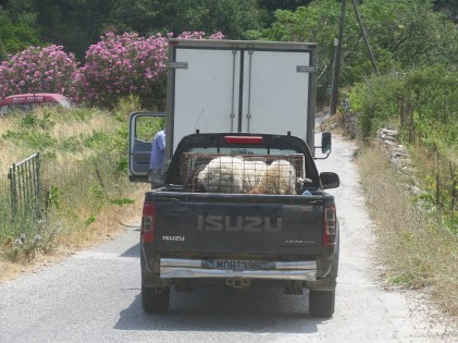 Sheep and goats in truck beds!