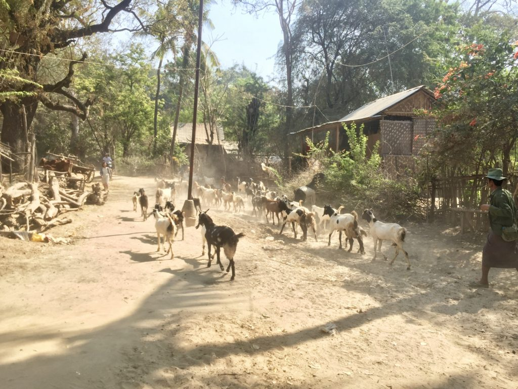 Goats being led through the middle of a dusty village