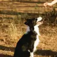 crop faceless person feeding purebred border collie in nature