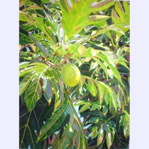 Breadfruit Solo 30 x 22