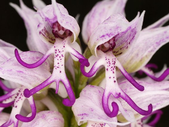 flowers-look-like-animals-people-monkeys-orchids-pareidolia-20