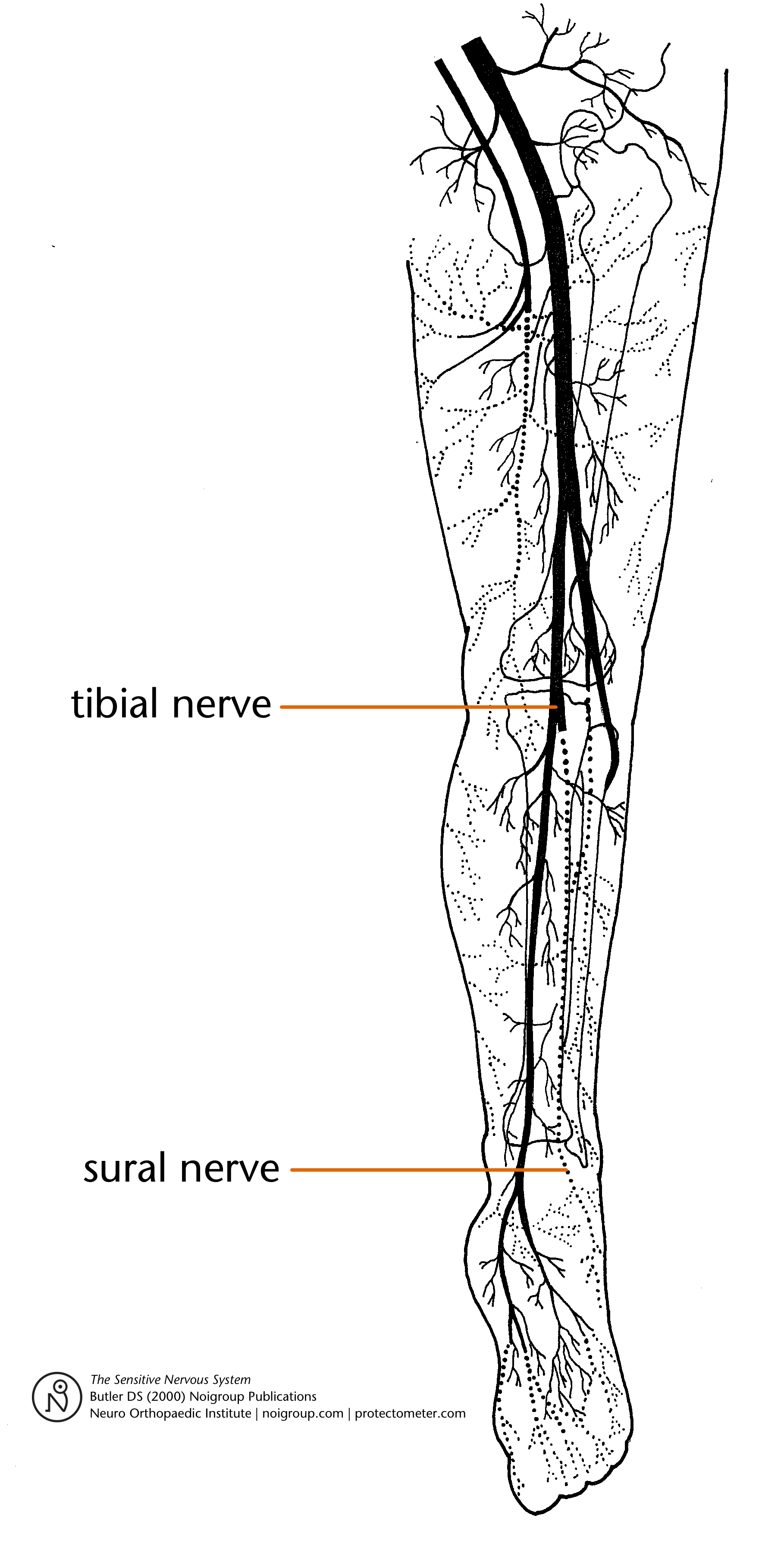 Sacral Nervous System Diagram