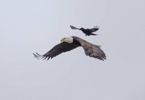 1_crow-rides-eagle-bird-photography-phoo-chan-6