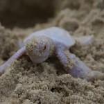 超レア映像!!白いアオウミガメがオーストラリア海岸で発見される