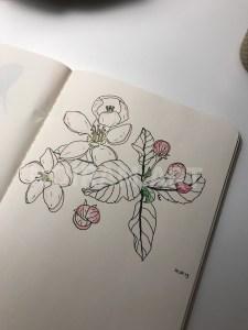 Croquis noiram mlam poncet pommier fleur