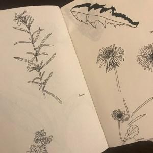 Croquis noiram mlam poncet romarin pissenlit primevère herbier