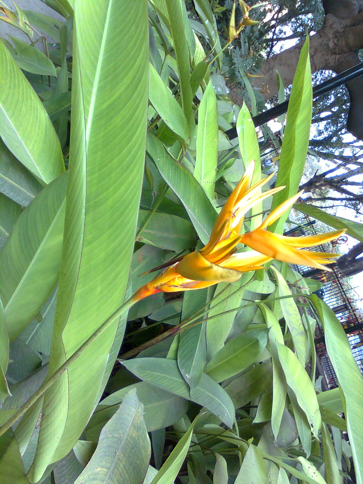 A Bird of Paradise flower in a park centrally located in Bangalore