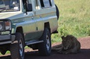 The lions in the Ngorongoro Crater enjoyed the shade of our safari vehicles.