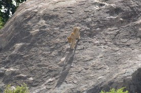 A lion walks down a large rock on the Serengeti.