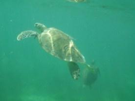 Sea Turtle Dude 2